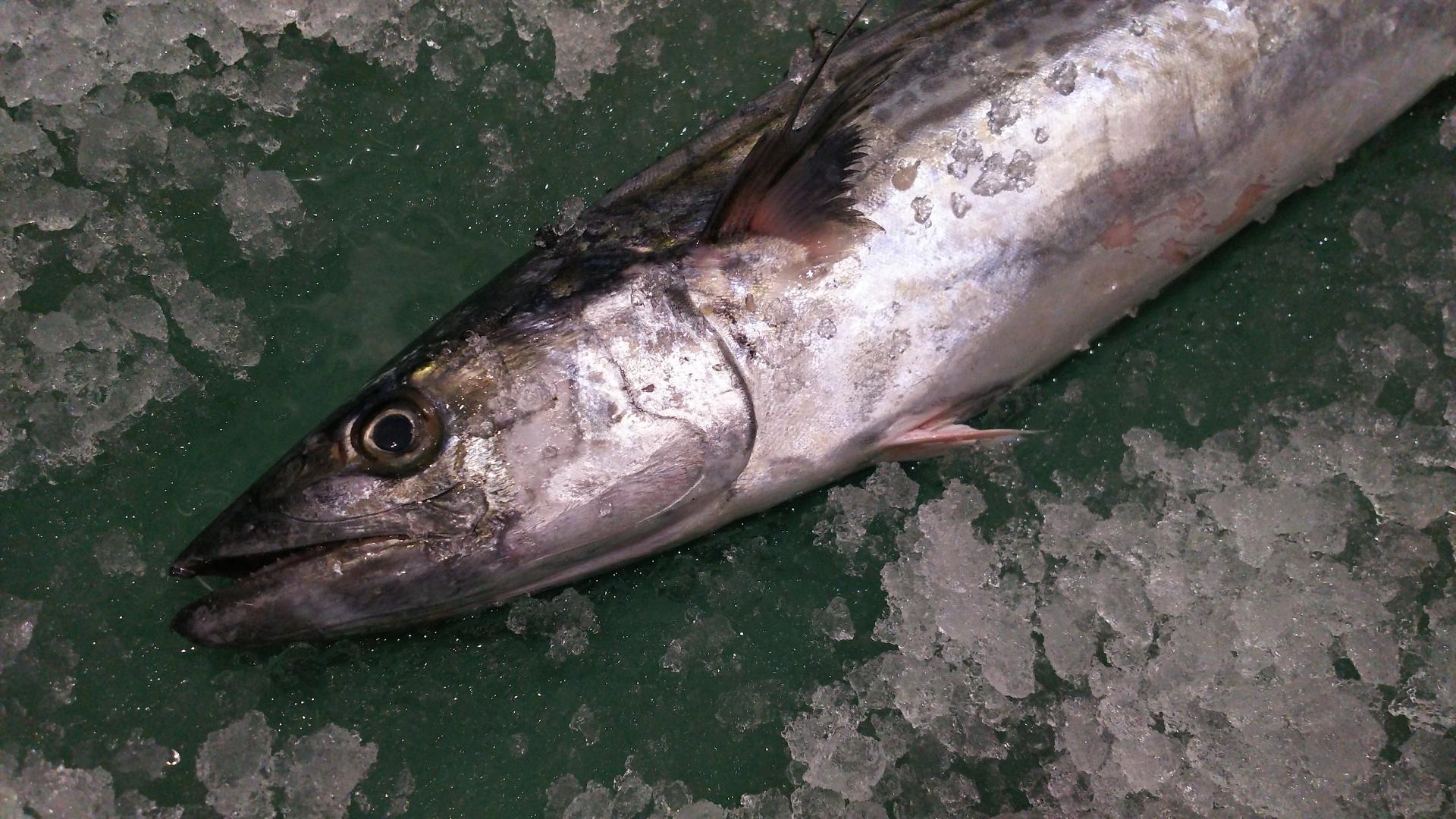魚へんに 春 でなんと読む 鰆 の正しい読み方 由来をご紹介 魚へんの漢字辞典 釣りラボマガジン