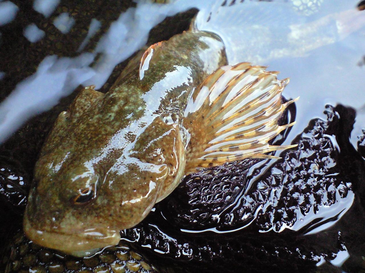 魚へんに 石 でなんと読む 鮖 の正しい読み方 由来をご紹介 魚へんの漢字辞典 釣りラボマガジン