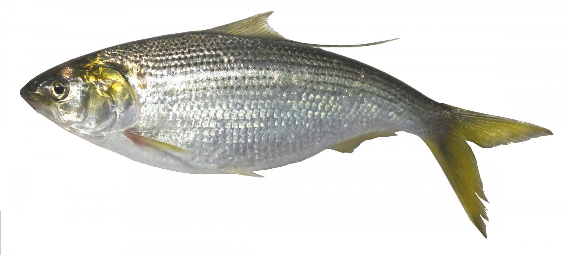 魚へんに 祭 でなんと読む 鰶 の正しい読み方 由来をご紹介 魚へんの漢字辞典 釣りラボマガジン